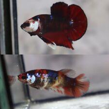Live Betta Fish Red Galaxy 1 pair