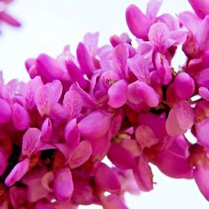 20 CASCADING HEARTS REDBUD SEEDS  - Cercis canadensis 'Cascading Hearts'