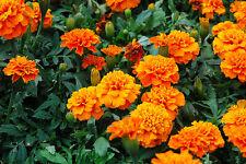 FRENCH MARIGOLD - ORANGE - 250 seeds - Tagetes patula nana ANNUAL FLOWER