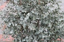 Garden Plant- Eucalyptus Gunnii- Plant 60cm Tall