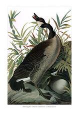 Kanadagans Branta canadensis Canada Goose Meergänse Entenvögel Audubon A2 050