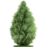 50PCS Small Green Arborvitae Cypress Sempervirens Pine Tree Seeds Garden SA F0W5