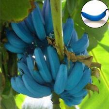 200PCS Rare Blue Skin Banana Seeds Dwarf Fruit Trees Rare Plants Home And Garden