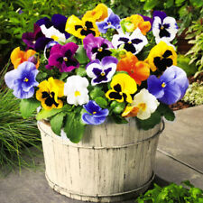 PANSY SWISS MIXED  - 1200 SEEDS - Viola wittrockiana