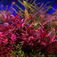 Alternanthera Lilacina Bunch BUY2GET1 Freshwater Live Aquarium Plant Red Stems