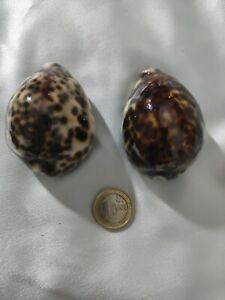 """Lot de 2 Cypraea Tigris  - Coquillages """"Porcelaine Tigrée"""" - 6 cm , Madagascar"""