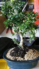 10yr Fukien Tea imported bonsai tree. True beginner bonsai Indoors