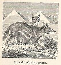 A7818 Sciacallo (Canis aureus) - Xilografia - Stampa Antica del 1930 - Engraving
