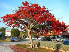 SALE 3 FOOT Live Red Royal Poinciana Tropical Tree also for Bonsai GORGEOUS !!