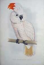 1887 MOLUCCAN OR SALMON CRESTED COCKATOO COLOUR LITHOGRAPH PARROTS IN CAPTIVITY