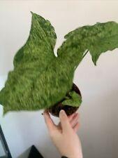 Syngonium Mottled /Buntblatt/ Rarität/Steckling / Pflanze