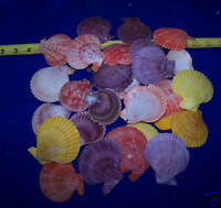 30+ SINGLE PECTIN NOBILUS Craft Display SEASHELLS SEA SHELLS ITEM # 1105-30