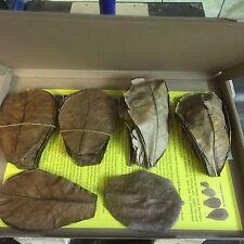 Nano Seemandelbaumblätter 10-15cm ~50 Stück(=50 Gramm) Catappa Wasseraufbereiter