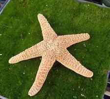 Xl Sugar Starfish