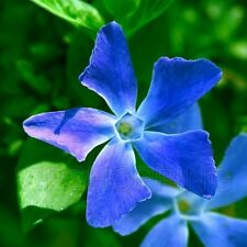 20 Seeds Blue Vinca Catharanthus Roseus Madagascar Rosy Periwinkle Garden Flower