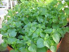 "50 seeds Hat giong rau cang cua-peperomia pellucida, ""Krasang Teap"" in Khmer"