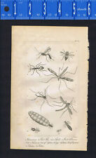 Queen & Soldier Ants, Fly, Gnat - INSECTS  - 1830 Goldsmith Engraving