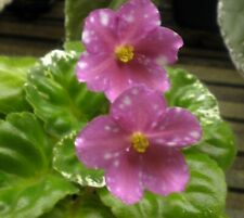 African Violet Leaves ~ Rivermist Sweetheart ~ Girl Variegated Leaves New