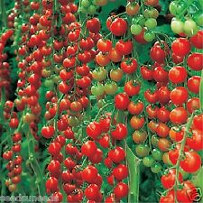 Dolce Vita Organic Tomato Seeds Heavy Cropper