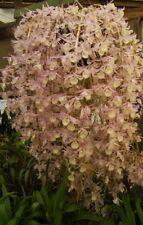 Dendrobium Orchid SPECIES pierardii