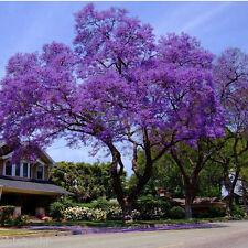 BLUE JACARANDA - 20 Seeds #SOS- 3012 # TREE Mimosifolia + free fungicide