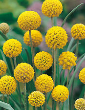 Billy Buttons (Craspedia glauca)- 6 Pack