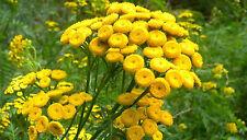 400 Graines non traitées de TANAISIE Tanacetum vulgare Insecticide au jardin