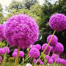 25 Semilla Cebolla Grande Bola Estrella Flor Gigante Allium Leek Puerro Aliáceas