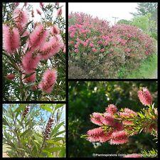 8 Bottlebrush Injune Pink Callistemon Native Tree Weeping Plants Bottle Brush