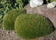 Ornamental Grass Seed - Festuca Fescue Scoparia Seeds