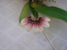 "New listing Bulbophyllum Daisy Chain Bloom size 4"" basket"
