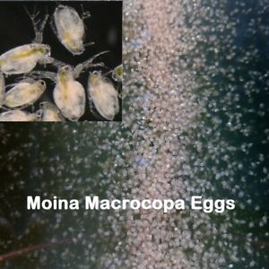 20k Moina Macrocopa eggs High protein  Food For Betta Killifish Guppy Fish tank