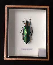 Big green jewel beetle Magaaloxantsa Bicolor display taxidermy insect entomology