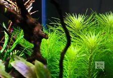 Aquatic Plant - Pogostemon Erectus - Set of 6 Stems