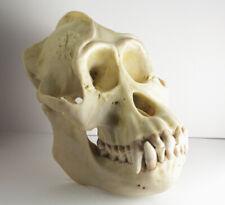 rare SOMSO Pongo p. Pygmaeus Skull Anatomical Model Ornag-Utan natural size vtg
