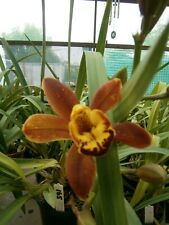 Cymbidium Orchid: Crackerjack 'Chocolate Soldier'