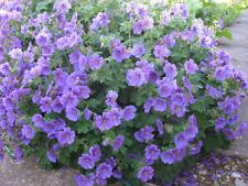 Hardy Perennial Geranium x magnificum (Cranesbill) Prolific Blue Flowers 9cm