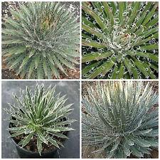 10 semillas de agave filifera, plantas suculentas,seed succulents S