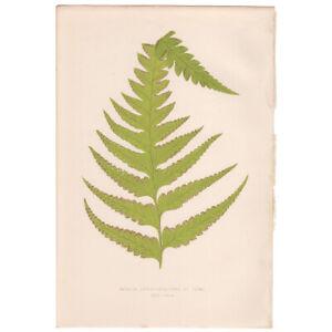 Lowe Exotic Ferns antique 1872 botanical print, Pl 30 Davallia Lonchitidea