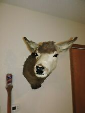 Vtg Mule Deer Head Shoulder Mount Taxidermy Mounted Antler Hunt Whitetail Rack