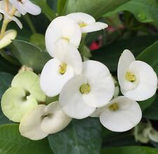 HERMES EUPHORBIA milii Crown of Thorns The Forever Flower white plant 125mm pot