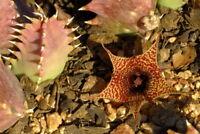 1 TALEA Huernia stapelioides PIANTE GRASSE STAPELIA DUVALIA CARALLUMA ORBEA