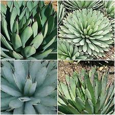 10 semi di agave macroacantha ,piante grasse, piante succulente,seed succulents