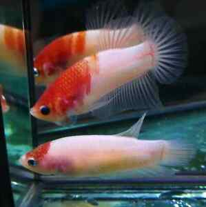 (PairPack!) Premium Live Betta Fish l Male and Female Tancho Plakat 7285