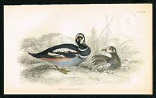 1840 Harlequin Sea Duck, Hand-Colored Antique Ornithology Print - Lizars