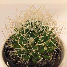 """Mammillaria Camptotricha """"birds nest� cactus cacti succulent live plant"""