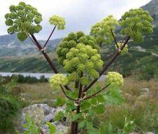 Angelikawurzel  imposante Pflanze für den Kräutergarten Gewürzkraut - Kräuter.