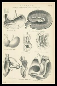 Rare 138+ Old Antique Print Veterinary Diagram Anatomy STOMACH Alimentary Canal
