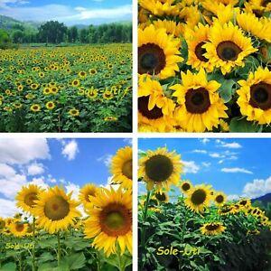 RIESEN SONNENBLUME GELB ❁ 60 Samen ❁ Helianthus Sonne ❁ edle Blüten Schnittblume