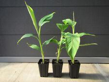 Musa basjoo - Faserbanane   winterharte  Pflanze   40-60cm Stamm